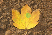 One autumnal maple leaf on the soil — Stock Photo