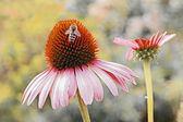 Echinacea purpurea with honeybee — Stock Photo