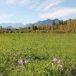 Wetlands near garmisch, with meadow saffron, germany — Stock Photo