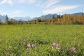 Wetlands near garmisch, with meadow saffron, germany — Stock Photo