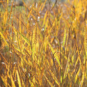 Back lighted golden grass weed in the wetlands — Stock Photo