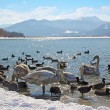 Stock Photo: Waterfowl at tegernsee lakeshore, winter scenery, germany