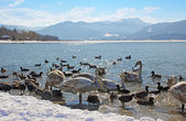 Waterfowl at tegernsee lakeshore, winter scenery, germany — Stock Photo