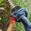 Detail of cutting thuja hedge with hedge clippers, — Stock Photo