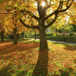 Autumnal maple tree, back lighted — Stock Photo