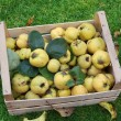 Homegrown apple quinces in a crate, harvesting time — Stock Photo