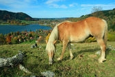 Grazing shetland pony and lake view to schliersee health resort — Stock Photo