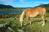 放牧のシェトランド ・ ポニーと湖シリエルシー健康リゾートを見る — ストック写真