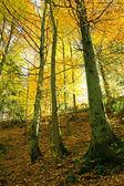 Shiny golden beech wood — Stock Photo