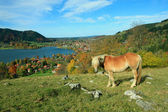 Shetland pony and lake view to schliersee health resort — Stock Photo