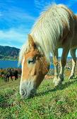 Grazing shetland Pony in the bavarian alps — Stock Photo