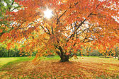 Autumnal cherry tree in the park, natural scenery with bright sunshine — Stock Photo