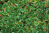 Holly bush hedge with berries — Stock Photo