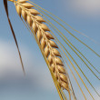 Stock Photo: Ripe barley ear against blue sky