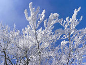 Branches with fresh fallen snow — Stock Photo