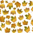 Isolated autumnal maple leaves — Stock Photo #39092461