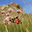 Butterfly tiger moth (arctia caja), sitting on a primrose flower — Stock Photo