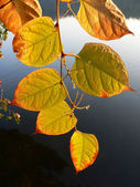 Branch with golden leaves, against dark water — Stock Photo