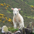 Stock Photo: Little cuddly lamb, countryside south england