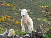 Little cuddly lamb, countryside south england — Stock Photo