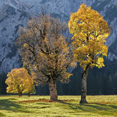 Old cracked maple trees on a valley bottom in the austrian alps, — Stock Photo