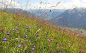 Alpine flower meadow with bell flowers, pink clover and grass, a — Stock Photo