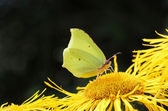 Bright brimstone butterfly at yellow oxeye flower — Stock Photo