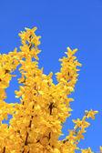 Full bloom forsythia bush at springtime, against blue sky — Stock Photo
