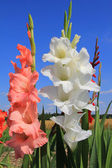 White and orange gladiolas in the flower field — Stock Photo