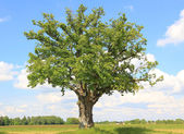 Lonely linden tree — Stockfoto
