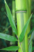 Green bamboo stem with leaves — Stock Photo