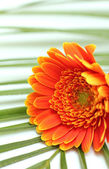Gerber daisy flower on palm leaf — Photo