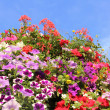 Colorful petunias against blue sky — Stock Photo