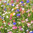 Wildflower meadow with various flowers — Stock Photo