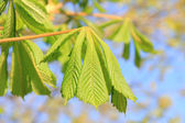 Young chestnut leaves, sprouting at springtime — Stock Photo