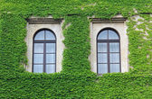 Facade overgrown with ivy leaves, two arched windows — Stock Photo