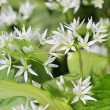 Wild bears garlic flowers at springtime, edible culinary herb — Stock Photo