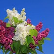 Bunch of purple and white lilac flowers, against blue sky — Stock Photo
