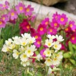 Yellow and pink wild primroses in the garden — Stock Photo