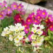 Stock Photo: Yellow and pink wild primroses in the garden