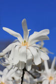 Beautiful white magnolia flower and clear blue sky — Stock Photo