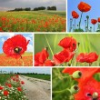 Collage red poppies — Stok fotoğraf