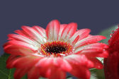 Side face from a gerber daisy with dew drops — Foto de Stock