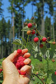 Female hand, picking wild raspberries in the wood — Stock Photo