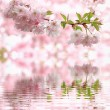 Pastel colored light pink cherry blooms, reflecting in water — Stock Photo