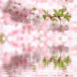 Stock Photo: Pastel colored light pink cherry blooms, reflecting in water