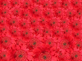 Flower background made of red gerber daisies — Stock Photo