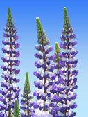 Two colored garden lupin and blue sky — Stock Photo