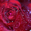 Stock Photo: Dark red rose with dew drops and light flares
