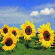 Stock Photo: Helianthus annuus horticulture